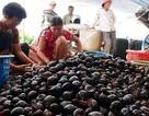 3 kg thóc rẻ 1 kg ốc: Nông dân bỏ ruộng