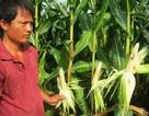 Dân khổ vì bắp không hạt
