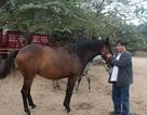 Bỏ tiền tỉ, thuê máy bay sang Tây đưa ngựa đua về Hà Nội chơi