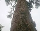 Chuyện về một cây lim xanh nghìn năm tuổi...