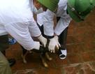 Báo động bệnh chó dại và dịch cúm gia cầm