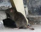 """Hiểm họa từ """"giặc"""" chuột mang mầm bệnh suy thận cấp"""