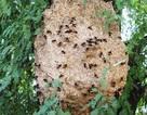 1 người chết, 6 người bị thương vì ong vò vẽ đốt