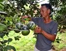 Thời tiết xấu, người trồng bưởi Tân Triều thất thu vụ Tết