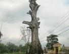 Chuyện về cây Gạo 300 năm tuổi chết sau khi được vinh danh