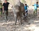 Phẫu thuật, chữa lành chân cho voi rừng dính bẫy, bị thương