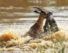 Linh dương bị cá sấu ăn thịt trong chớp mắt