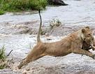 """Cận cảnh sư tử mẹ """"khinh công"""" tha con vượt sông"""