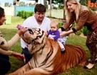Choáng với kiểu chơi nuôi hổ làm thú cưng