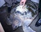Phát hiện rùa biển gắn định vị mã vùng Trung Quốc