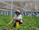Kiếm tiền tỷ mỗi năm từ trồng rau mùi Pháp