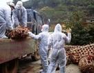 """""""Truy tìm"""" vi rút H7N9 trên đàn gia cầm"""