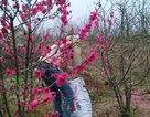 """Đào nở sớm, chủ vườn… """"bứt hoa làm thuốc"""""""