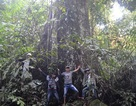 Cây khổng lồ 400 tuổi - báu vật rừng của người Xê Đăng