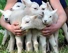Cừu sinh 6