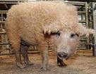 Lợn lông xoăn tít