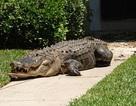 Cá sấu khổng lồ ngủ trưa trước... cửa nhà