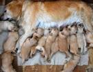 Chó đẻ 15 con một lứa