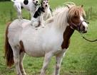 Chùm ảnh: Chó cũng thích cưỡi ngựa