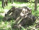 Truy tìm kẻ sát hại dã man một con voi