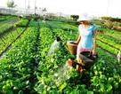 Chùm ảnh: Xanh mướt làng rau Trà Quế