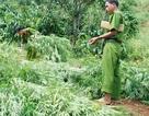 Biến rẫy cà phê thành nơi trồng cần sa