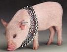Lợn làm… người mẫu trang sức