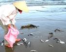 Nghệ An: Cá chết trắng biển Cửa Lò