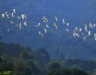 Cò bay rợp núi nơi thượng nguồn sông Hồng