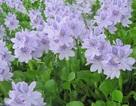 Sắc tím ngỡ ngàng mùa lục bình nở hoa