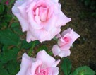 Mỹ phẩm từ hoa xuân