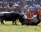 Sức hấp dẫn của lễ hội chọi trâu Đồ Sơn