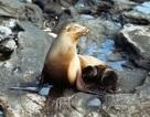 Sư tử biển quý hiếm nuôi ở nhà ngư dân đã chết