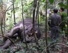 Phát hiện xác voi rừng mất đầu và 4 chân