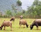 Ngày Tết lo chống rét cho trâu bò