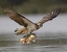 Cận cảnh màn săn cá chép cực độc của chim ưng biển
