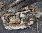 """Xót xa cảnh chim hải âu chết yểu vì thức ăn """"tử thần"""""""