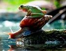 Nhọc nhằn ốc sên cõng ếch