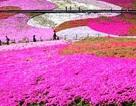 """Chiêm ngưỡng vẻ đẹp loài hoa mang tên """"shibazakura"""" ở Nhật Bản"""