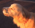 Chó nhái tiếng còi báo động