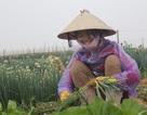 Rau rẻ như bèo, nông dân nuốt nước mắt bỏ rau tại ruộng