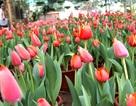 """Hoa tulip nở rực rỡ trên vùng đất """"khắc nghiệt"""""""