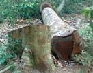 Triệt hạ 3 cây sa mu dầu ở khu bảo tồn thiên nhiên Pù Hoạt