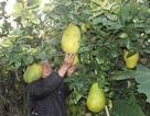 Một quả chanh nặng 2kg, giá 300.000 đồng!