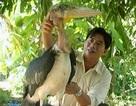 """Thả chim """"khủng"""" cao hơn 1m, nặng hơn 6kg về tự nhiên"""