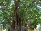 Cây Bồ đề 132 tuổi cao ngang nhà 10 tầng được công nhận Cây Di sản