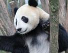 Trung Quốc: Được bồi thường 80.000 USD vì bị gấu trúc cắn