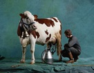 Kem chống HIV làm từ sữa bò