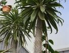 Cọ Madagascar có nguy cơ tuyệt chủng