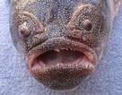 10 loài sinh vật kỳ quái ẩn náu dưới biển sâu